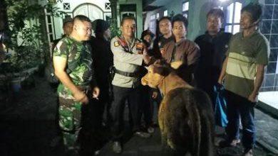 Photo of Satgas Keamanan Desa Condro Temukan Sapi Curian Milik Warganya