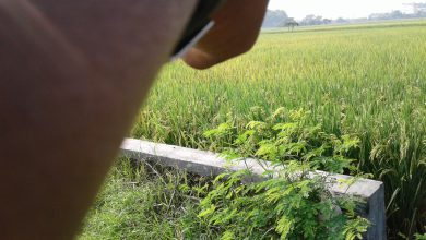 Photo of Diatas Perang dengan Virus Corona, Petani Perang Dengan Hama Wereng Ijo
