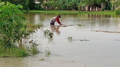 Photo of Banjir Desa Wotansari Menggenangi Rumah dan Puluhan Ha Sawah, tanaman Padi Dan Kangkung