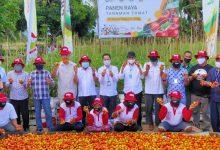 Photo of Panen Tomat Di Lahan Demonstration Plot (demplot) Menggunakan Pupuk Non-Subsidi NPK Phonska Plus