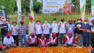 Photo of Panen Tomat Di Lahan Demonstration Plot (demplot) Menggunakan Pupuk Non-Subsidi NPK Phonska Plus