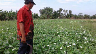 Photo of Poyo Seorang Panjak Yang Alih Profesi Ke Pertanian Kangkung