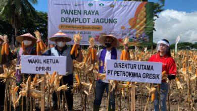 Photo of Ditengah Pandemi Covid – 19 petrokimia Panen Raya Tanaman Hortikultura Bersama Wakil Ketua DPR RI Rachmat Gobel.