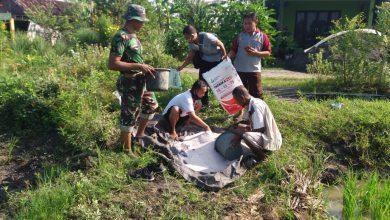 Photo of Tingkatkan Hasil Panen,  Babinsa Koramil Cerme Bantu Petani Memupuk Padi
