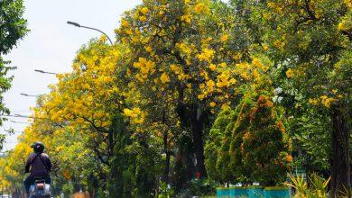 Photo of Bunga Tabebuya Bermekaran Lagi di Kota Surabaya, Percantik Jalanan saat Lebaran