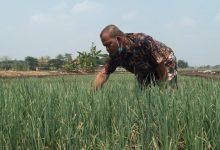 Photo of Sumali petani Bawang Merah Dari Desa Tanah Landean